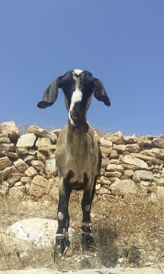 Sikinos cyclades (Σίκινος Κυκλάδες) 2015. Photo by Yiannis Divolis. www.yiannisdivoli... Greece, Dogs, Photos, Animals, Greece Country, Pictures, Animales, Animaux, Pet Dogs