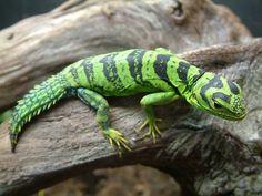 Green Thornytail Iguana (Uracentron azureum)  … an arboreal species of lizard from the Amazon rainforest