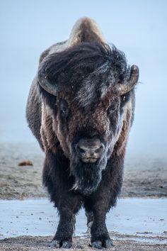 Búfalo no Parque Nacional de Yellowstone, parque que se estende pelos estados de Wyoming, Montana e Idaho, USA. Fotografia: Dylan Brown / National Geographic.