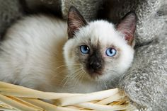 Every companion, especially one who talks a lot, should be referred to by name. Siamese cats deserve names that are unique to the breed because of their distinctive appearance and personalities!