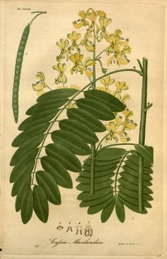 1817, volume 2 | American medical botany /by Jacob Bigelow.