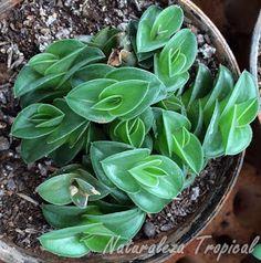 La pequeña suculenta Tradescantia navicularis (sin. Callisia navicularis)