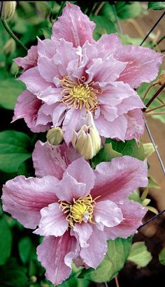 Clematis .. Piilu, compact growing heavy bloomer.  Early flowers are double, later flowers are single. Blooms without a summer break.