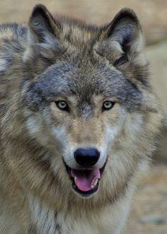 Grey Wolf | Flickr - Photo Sharing!
