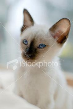 Purebred Siamese Cat (Kitten) Royalty Free Stock Photo