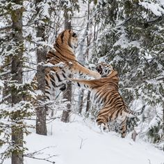 """Discovery on Instagram: """"Two endangered Siberian tigers fight for the affection of a female tiger. #TigerTuesday #tiger #snowy #fightnight #wildlifephotography…"""" Tiger Photography, Wildlife Photography, Life Pictures, Animal Pictures, Life Pics, Fight Night, Siberian Tiger, Art Reference, Naturaleza"""