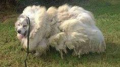 ✔Спасение животных! С бедной собаки состригли 16 кг шерсти