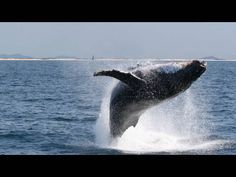 Gold coast whale watching.  #Thepremierlife #Goldcoast #whalewatching #travel Whale Watching Tours, Gold Coast, Lifestyle, Travel, Animals, Viajes, Animales, Animaux, Destinations