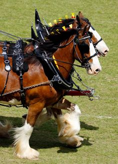 Clydesdale horses under harness.