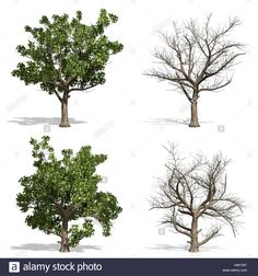 Stock Photo - Sycamore trees, isolated on white background Pop Up, Trees, Stock Photos, Illustration, Plants, Outdoor, Outdoors, Popup, Tree Structure