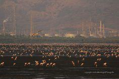 Flamingoes...at Sewri mudflats Mumbai