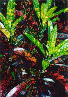 Crotons...I have a yard filled with these, love em