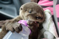 Rescued Baby River Otter Nino from Costa Rica