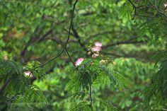 Silk-tree by tezwan