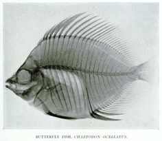 Butterfly Fish (Chaetodon ocellatus) New York Zoological Society (1896) [1905]