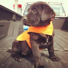 Chocolate lab with orange hunting vest...fallin in love
