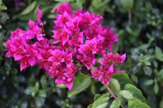 Pink Bougainvillea South Africa by Mark de Scande on 500px
