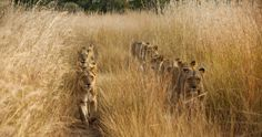 Two lines of lions walk through the tall grass in Zambia in this National Geographic Your Shot Photo of the Day. Lofoten, Animal Photography, Amazing Photography, Nature Photography, World Lion Day, National Geographic Travel, Shot Photo, African Safari, Endangered Species