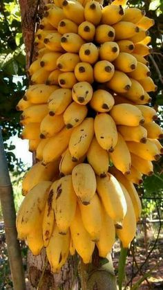 There are banana variants that can withstand cold and grows good in containers or pots, popular especially among the fans of exotic tropical fruit plants. New Fruit, Fruit Art, Fruit And Veg, Fruits And Vegetables, Fresh Fruit, Banana Plants, Fruit Plants, Fruit Garden, Fruit Trees