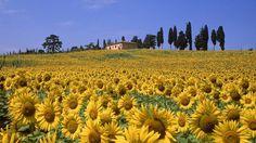 Sunflower fields in Tuscany