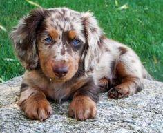 Gus the dapple dachshund.