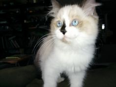 Big blue eyes Ragamuffin Cat, Big Blue Eyes, Cats And Kittens, Animales, Ragamuffin, Cats
