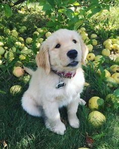 Cute Sophie the Golden Retriever puppy <3 <3 <3 <3