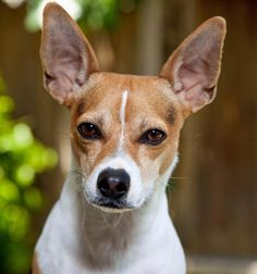 Google Image Result for http://cdn-www.dailypuppy.com/dog-images/teddie-the-rat-terrier_33906_2009-09-02_w450.jpg