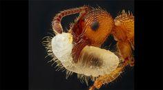 Noticia: En fotos: las microfotografías ganadoras del Nikon Small World 2012 Una hormiga del género Myrmica transporta su larva, reflejando la luz, como se puede apreciar en la imagen de Geir Drange, de Askr, Noruega. La foto obtuvo el noveno puesto.