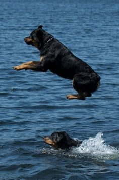 it appears these two know how to swim... my rottie didn't... he'd still follow us across the river but couldn't get back.  Such silly beasts.
