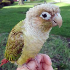 Oswin is a male cinnamon green cheek #conure #parrot - By: Annie Gavin