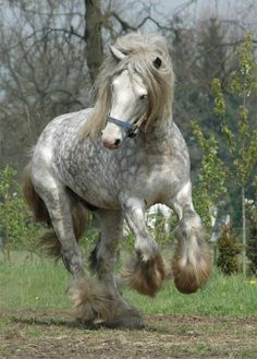 Dapple draft horse