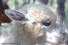 The Alpaca – Interesting Facts and Information – Did You Know… - News - Bubblews