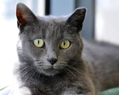 Hi, I'm Grayson and I am a beautiful Russian Blue Mix. I am here at the shelter with my buddies and we all need to find a good home. My ideal home would include a window to sit in and a nice quiet environment. I am a shy girl right now but I just need a little time to adjust and I know I could be just the perfect companion for you! So if you are looking for a new best friend, come on down and we can spend some quality time together, playing and just getting to know each other.