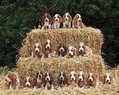 Bassett hound ♥ Love it! Wish all these was mine!