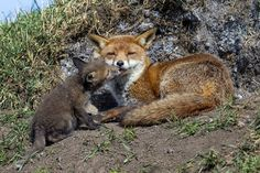 A young fox cub shares a tender moment with its mother. Young Rabbit, Young Fox, Seal Pup, British Wildlife, Cute Fox, Animals Images, Animal Pictures, Dogs Of The World, Wildlife Photography