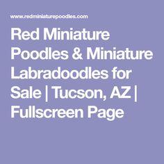 Red Miniature Poodles & Miniature Labradoodles for Sale   Tucson, AZ   Fullscreen Page
