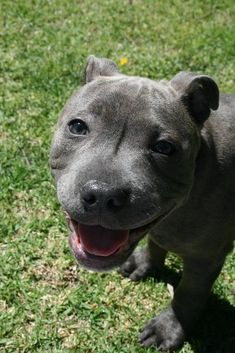 Love Staffies? Then why not join our Dog & Cat Lovers Facebook Page, Just click Below https://www.facebook.com/pages/Dont-Hurt-Me-Im-Your-Best-Friend/636479679717238