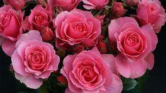 'Ville de Saumur', Grand prix SNHF toutes catégories. Ce rosier buisson à fleurs groupées, très vigoureux, a été plebiscité par le jury pour la qualité et la densité de sa floraison et sa très grande résistance aux maladies. Obtention Fryer's roses représenté par Christophe Travers, pépinières de la Saulaie.