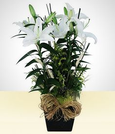 De Paz: Lírio Branco Plantado!