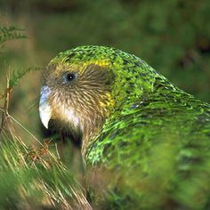 Kakapos! http://www.kakaporecovery.org.nz/index.php  So beautiful!  Let's keep them alive!