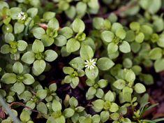 Pihatähtimö - Stellaria media Fungi, Flora, Aesthetics, Mushrooms, Plants