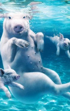 "Mom Pig With Her Young Piglets: ""In The Swim!"""