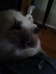 Buddha Cat | Pawshake
