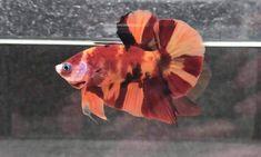 Koi Betta, Live Art, Siamese Fighting Fish, Ocean Creatures, Art Of Living, Terrariums, Aquariums, Aquarium Fish, Photo Displays