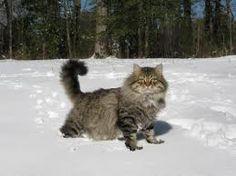 Siberian cat in the snow