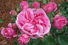 """Charmian      David Austin® English Roses  Pink. Strong, old rose fragrance. Repeat, 3"""", double, rosette bloom form. Can be trained as a climber"""