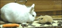 generous bunny gives carrot to hamster; the hamster is a hoot Sneaky Animals, Cute Funny Animals, Funny Animal Pictures, Funny Cute, Animals And Pets, Baby Animals, Cute Creatures, Beautiful Creatures, Rabbit Gif
