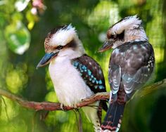 See Australian Animals and Wildlife in Australian Capital Territory Pretty Birds, Love Birds, Beautiful Birds, Animals Beautiful, Australian Birds, Animal Facts, All Nature, Colorful Birds, Exotic Birds