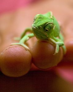 Baby Chameleons are super cute!